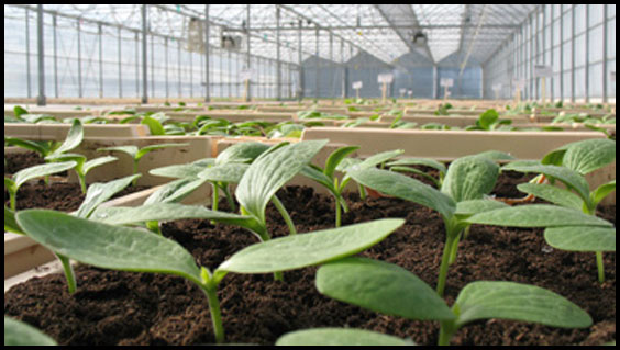 Plants de courgettes bio