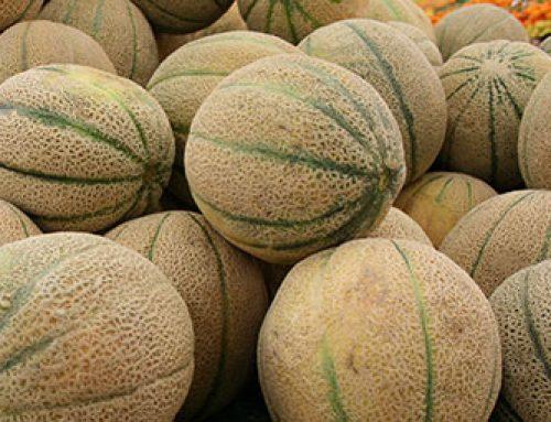 Les melons sont mûrs !