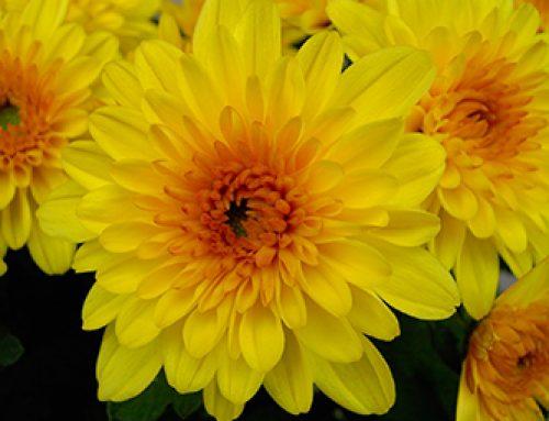 Les chrysanthèmes du Garrit sur France 3 !
